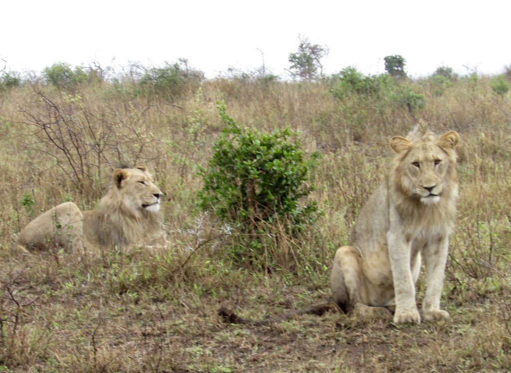young adult lion brothers at Phinda Private Game Reserve